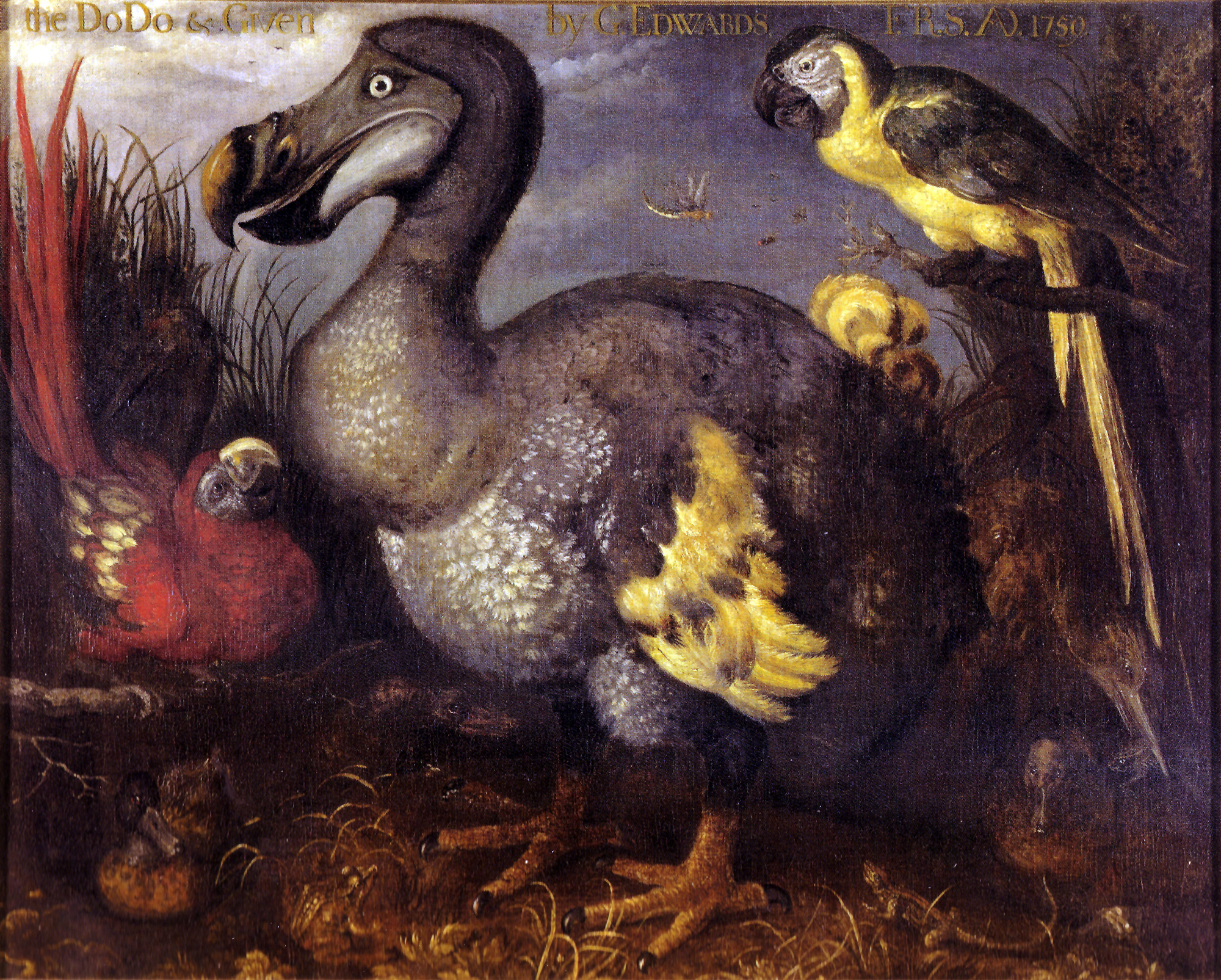 Le Dodo de George Edwards